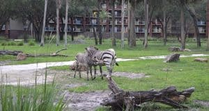 Zebra Animal Kingdom Lodge