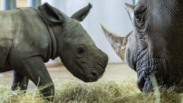 baby rhino disney's animal kingdom