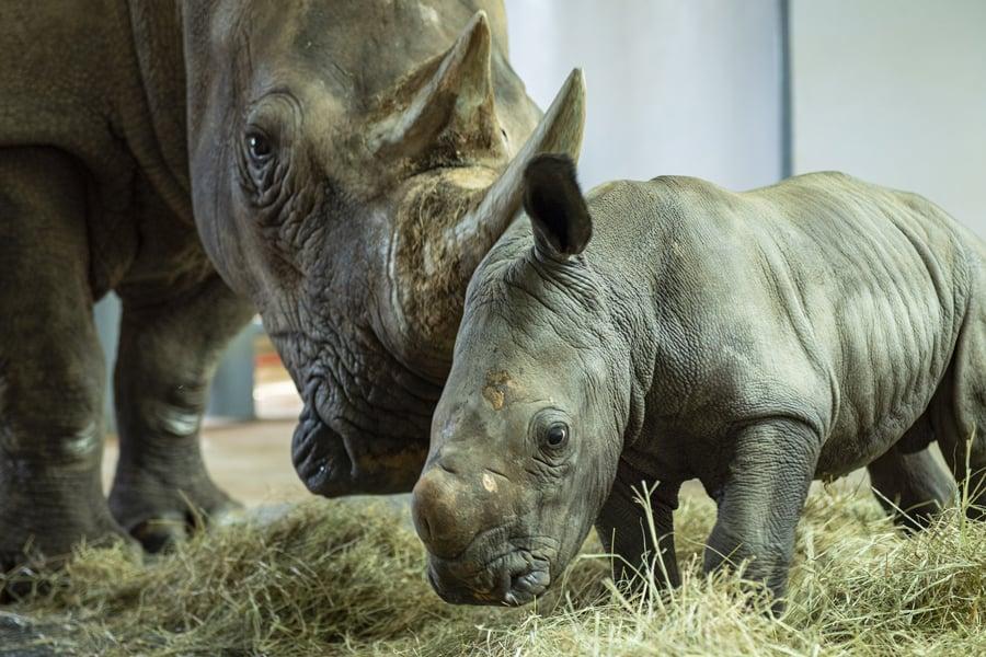 baby rhino at disney's animal kingdom